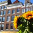 House architecture in Amsterdam over yellow sunflower - Stock Photo