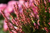 Blooming heather flowers on the green meadow — Stock Photo