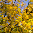 Stock Photo: Yellow maple