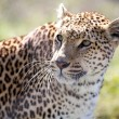 Leopard (Panthera Pardus) - Stock Photo