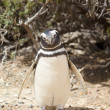 Penguin on beach — Stock Photo