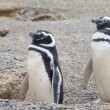 Two penguins and nest — Stock Photo #7682397