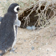 Penguin and nest — Stock Photo