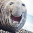 Aggressive sea elephant — Stock Photo