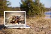 Outdoor laptop and mating frogs — Stock Photo