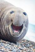 Aggressive sea elephant — Stock Photo