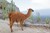 Lama glama — Stock Photo