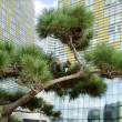 Pine tree with squirrel in the city — Stock Photo
