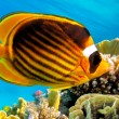 raccoon butterflyfishes — Stock Photo