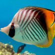 Threadfin butterflyfish (Chaetodon auriga), Red Sea, Egypt — Stock Photo #7183694