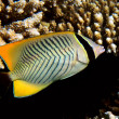 Stock Photo: Chevron butterflyfish