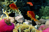 Underwater life of a hard-coral reef, Red Sea, Egypt — Stock Photo