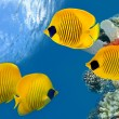 Masked Butterfly Fish. — Stock Photo #7200158