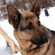 Portrait of a german shepherd dog — Stock Photo