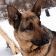 Stock Photo: Portrait of a german shepherd dog