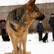 Service training for German Shepherd Dogs - Stock Photo