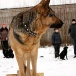 Service training for German Shepherd Dogs — Stock Photo