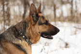 Portrait of a german shepherd dog in profile — Stock Photo