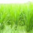 Stock Photo: Rice fields.