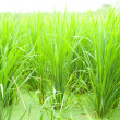 Rice fields. — Stock Photo #7253325