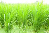Rice fields. — Stock Photo