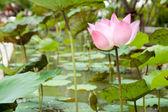 Lotus v rybníku. — Stock fotografie