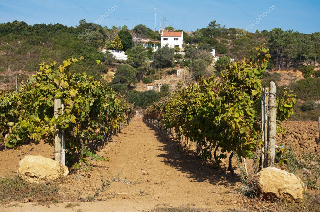 Vineyard in the mountains bush trail Portugal Village with harvest  Stock Photo #7266236