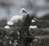 Baby bird of the Caribbean flamingo in a nest. — Stock Photo