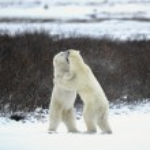 Two polar bears playfighting — Stock Photo