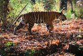 Royal Bengal tiger — Stock Photo