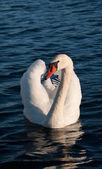Mute Swan — Foto Stock