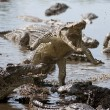 Foto de Stock  : Attack crocodile