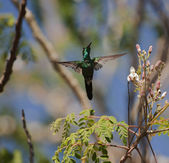 The Cuban Emerald (Chlorostilbon ricordii) — Photo
