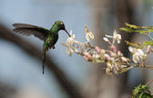 The Cuban Emerald (Chlorostilbon ricordii) — Foto Stock