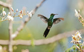 The Cuban Emerald (Chlorostilbon ricordii) — Foto de Stock