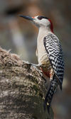 West Indian Woodpecker (Melanerpes superciliaris) — 图库照片