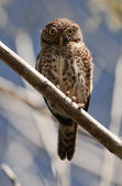 Cuban Pygmy-owl. Glaucidium siju — Stock Photo