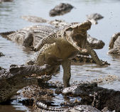 Attack crocodile — Stock Photo