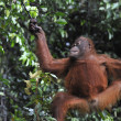 Stock Photo: Juvenile Orangutan .Pongo pygmaeus