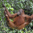 Juvenile Orangutan .Pongo pygmaeus — Stock Photo #7107266