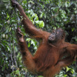 Juvenile Orangutan .Pongo pygmaeus — Stock Photo #7107275
