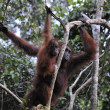 Stock Photo: Mother Orangutand Baby
