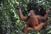 Juvenile Orangutan .Pongo pygmaeus — Stock Photo