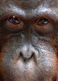 Orangutan Portrait. — Stock Photo