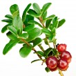 Late cowberry. - Stock Photo