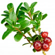 Late cowberry. — Stock Photo