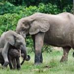 Постер, плакат: Family of forest Elephants