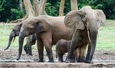 Il vitello dell'elefante beve latte alla mamma. — Foto Stock