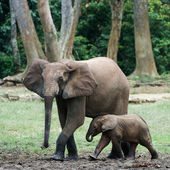 The kid the elephant calf with mum. — Stock Photo