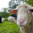 Close up shoot of a sheep on a lawn the herd - Stock Photo